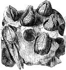 Мидата каменопробивач
