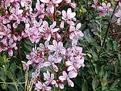 Цветето Росен