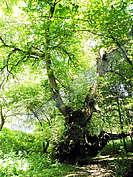 Вековен бряст - Дървото на желанията